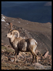 Bighorn Sheep, Mt. Evans, Colorado