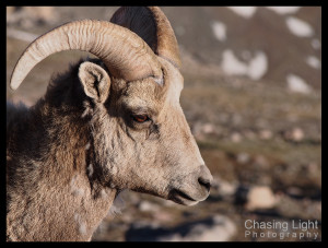 Bighorn Sheep, Mt Evans, Colorado